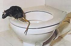 rotte på vej op af toilet
